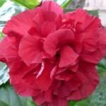 hibiskus11